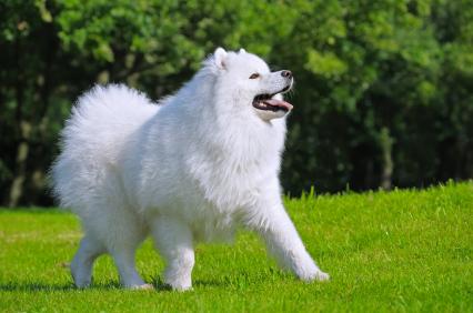 Biały piekny pies rasy Samojed