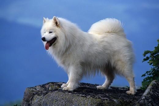 Zdjecie psa rasy Samoyed
