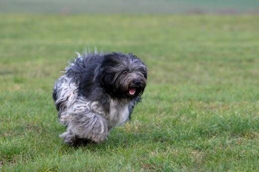 Pies z I grupy FCI - Schapendoes