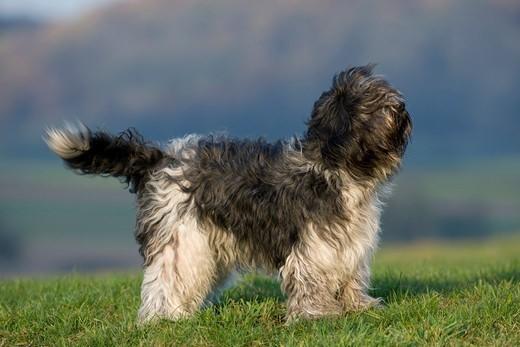 Kudłaty pies z Holandii Schapendoes