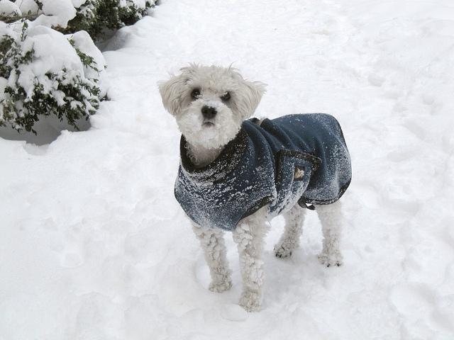 Schnoodle w zimowej kurteczce na spacerze w zimie.