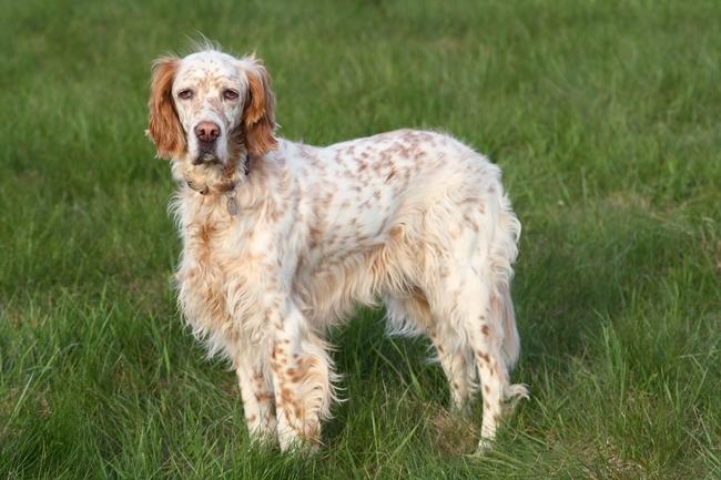 Seter angielski brytyjska rasa psów