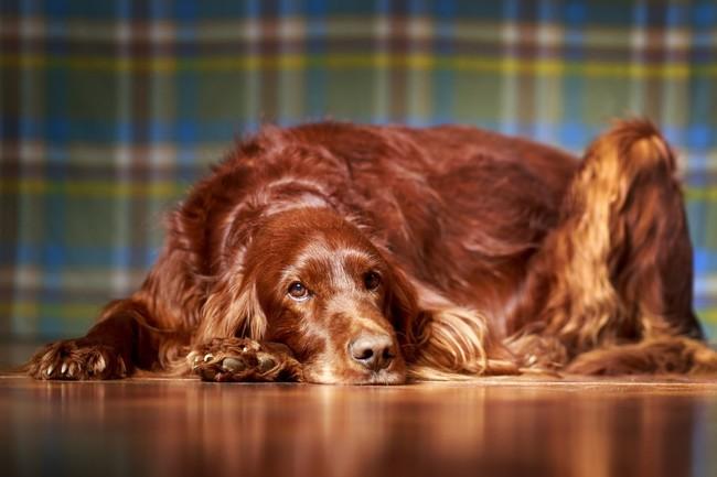Seter irlandzki mahoniowy rasa psa