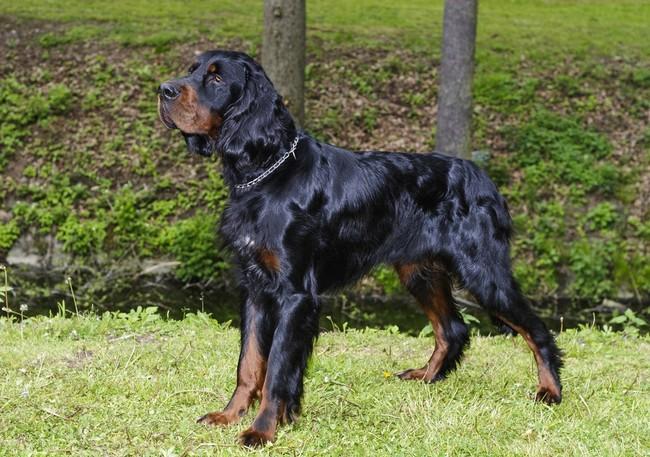 Brytyjska rasa psów Seter szkocki Gordon