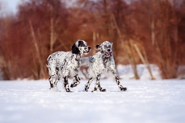 Setery angielskie rasa psów