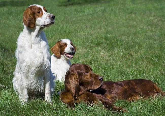 psy rasy Stere irlandzki