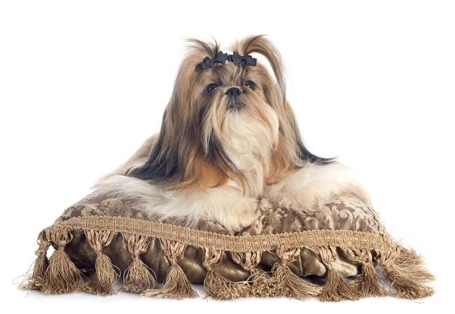 Shih Tzu leżący na poduszce