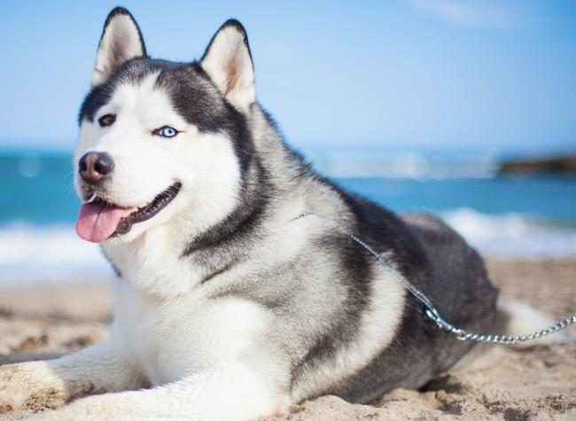 Pies Haski