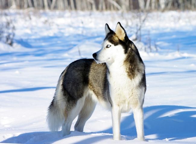 Rasa psa Siberian husky