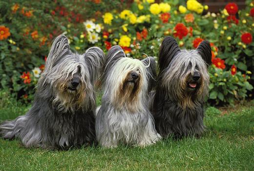 Psy rasy Skye terrier