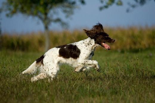 Biegnący pies rasy Spaniel francuski