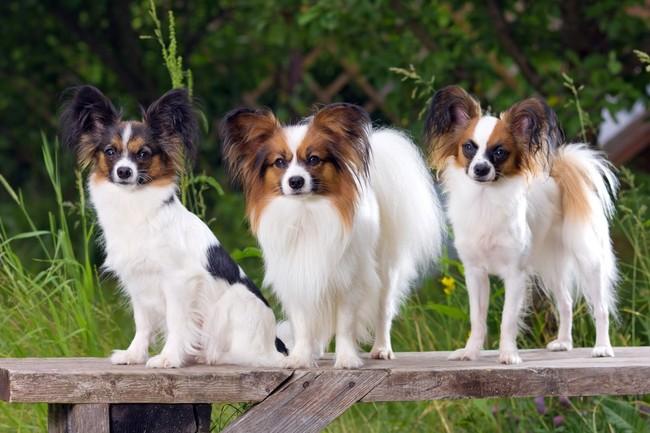 Psy Spaniel kontynentalny Papillon