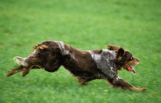 Rasa psa Spaniel pikardyjski