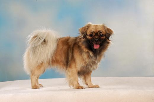 Rasa psa Spaniel tybetański