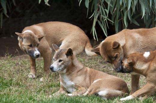 Śpiewające psy z Nowej Gwinei