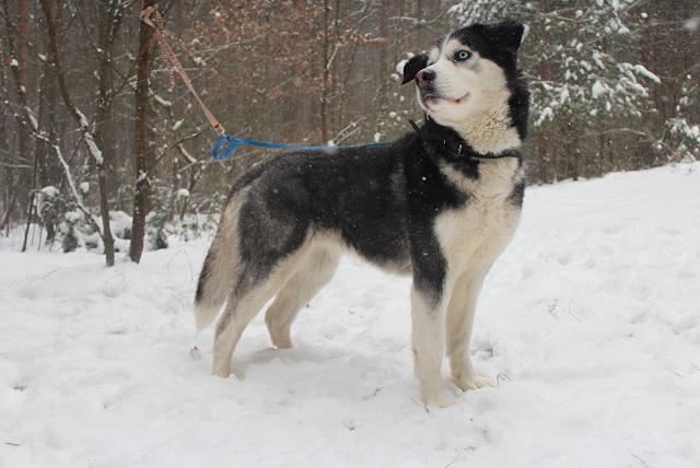 Suczka Nini do adopcji - wyglada jak Siberian husky.