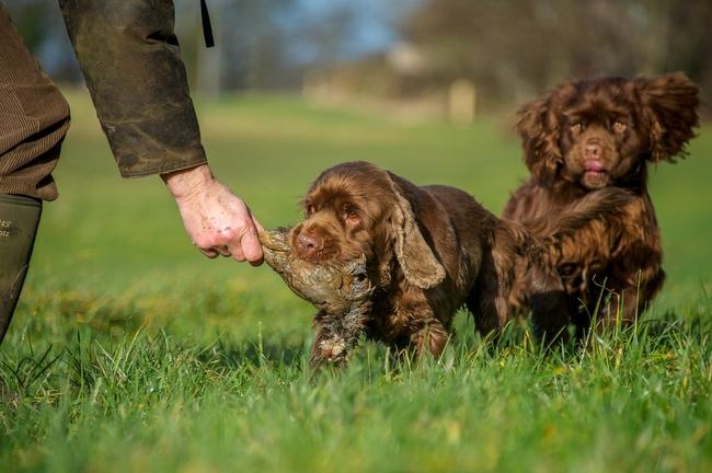 Rasa psów Sussex spaniel