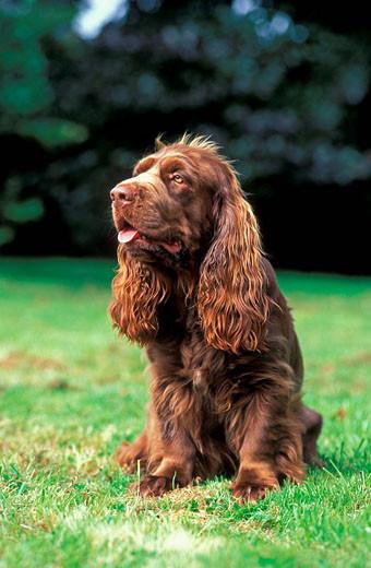 Pies rasy Sussex spaniel siedzący na trawie