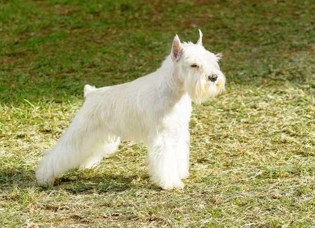 Pies rasy Sznaucer miniaturowy biały