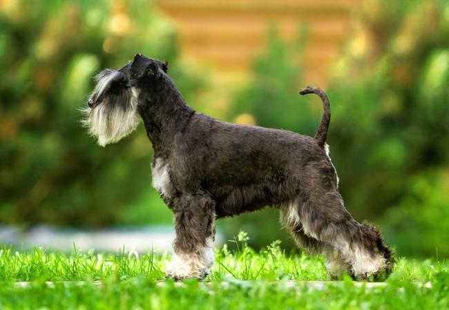 pies sznaucer miniaturowy czarno srebrny