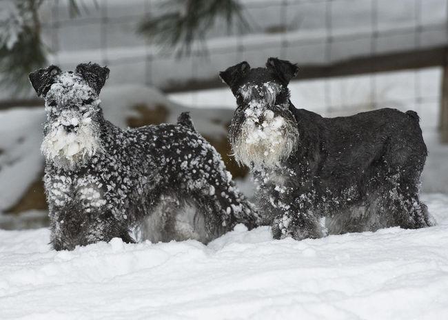 Psy sznaucery średnie