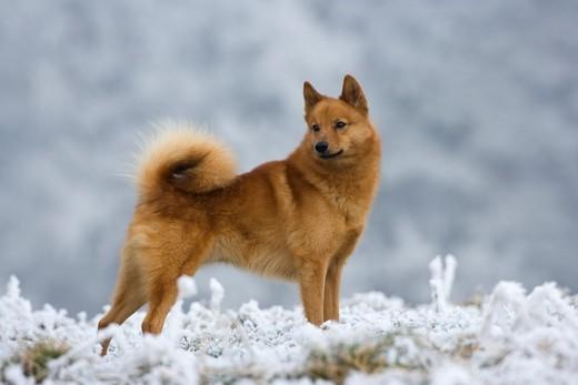 Pies szpic fiński