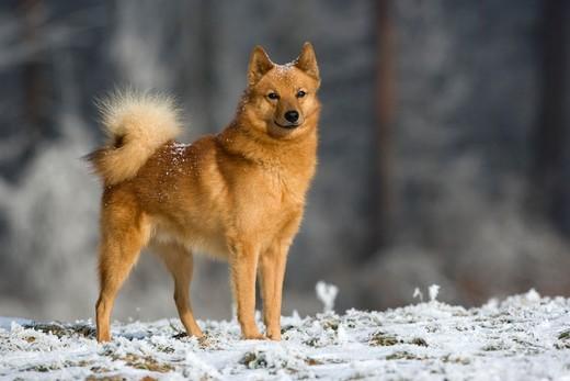 Rasa psów z Finlandii Szpic fiński