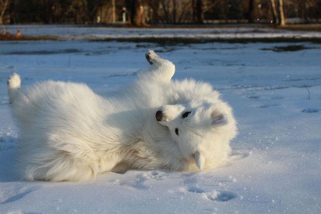 Pies rasy Szpic japoński