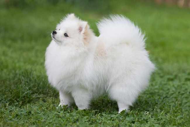 Szpic miniaturowy Pomeranian maści białej