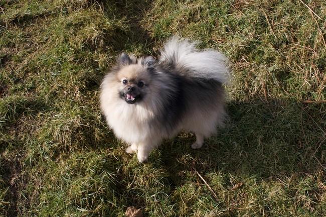 Pies rasy szpic niemiecki mały ( Kleinspitz)