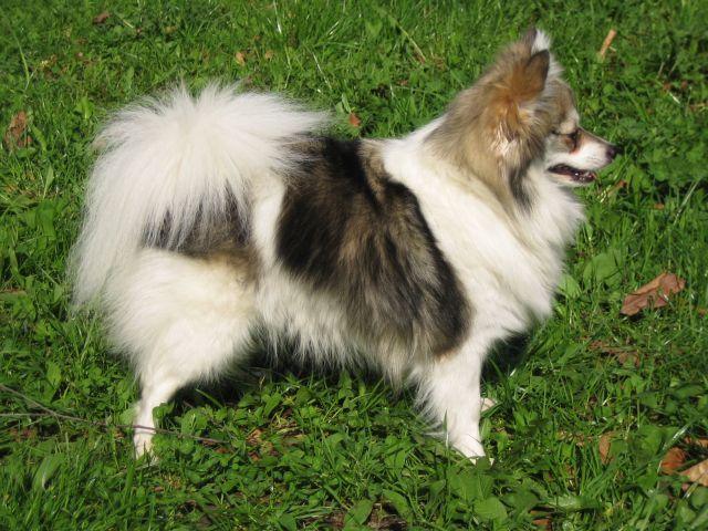 Pies Szpic niemiecki mały