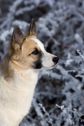 Kufa psa rasy Szpic nordycki (Norbottenspets)
