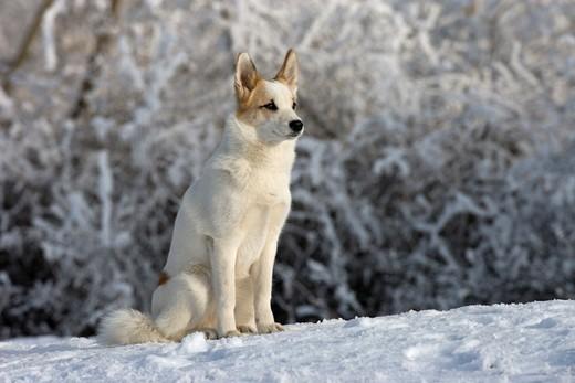 Pies Szpic z  Norbotten