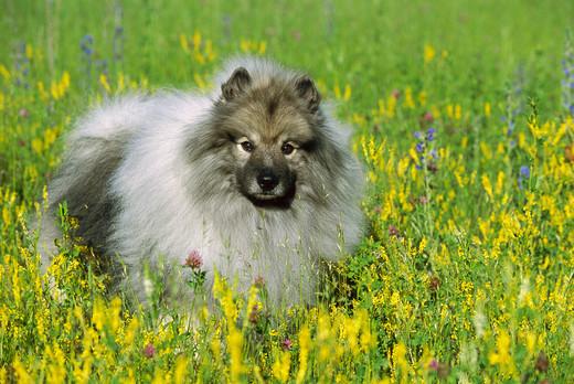 Pies Szpic wilczy na łączce