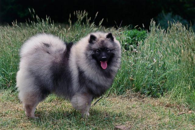 Pies rasy szpic wilczy