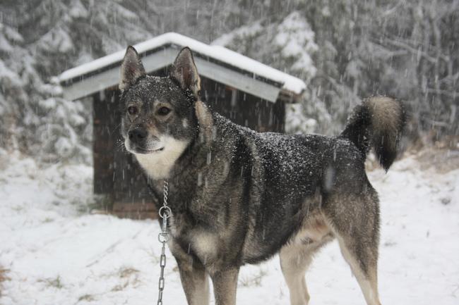 Pies rasy Szwedzki pies na łosie
