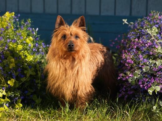 Pies rasy Terier australijski