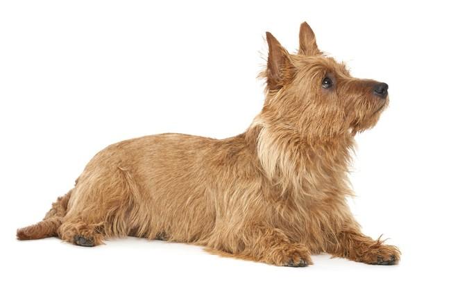 Terier australijski rasa psów