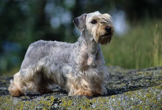 Pies rasy Terier czeski