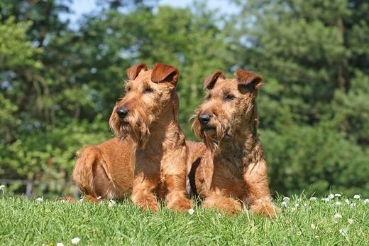 Psy teriery irlandzkie