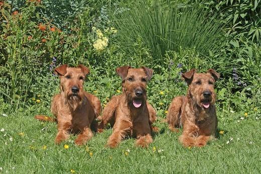 Teriery irlandzkie leżące w ogrodzie