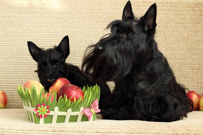 Psy teriery szkockie