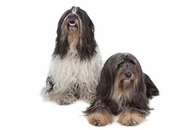 Psy teriery tybetańskie