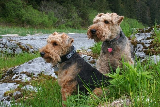 Psy teriery walijskie