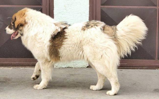 Bośniacko-chorwacki pies pasterski Tornjak