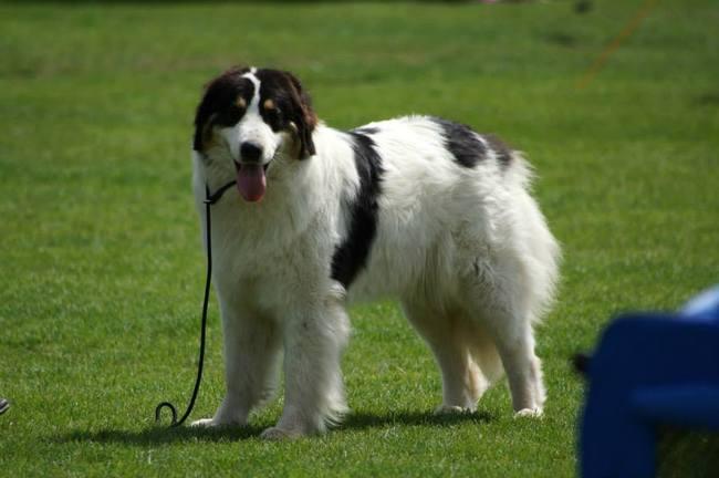 Pies rasy Tornjak