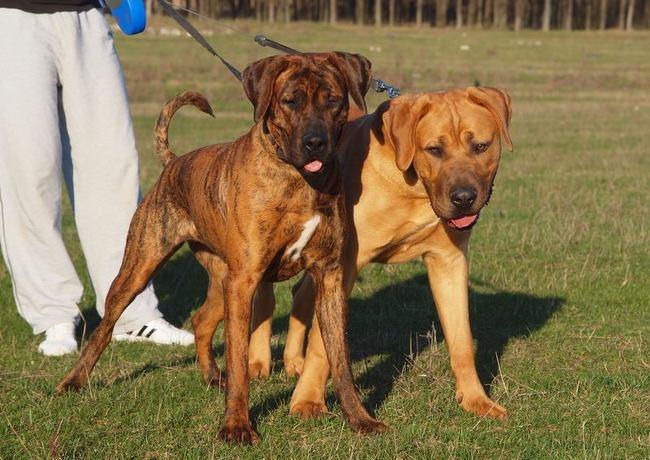 Rasa psów Tosa Inu