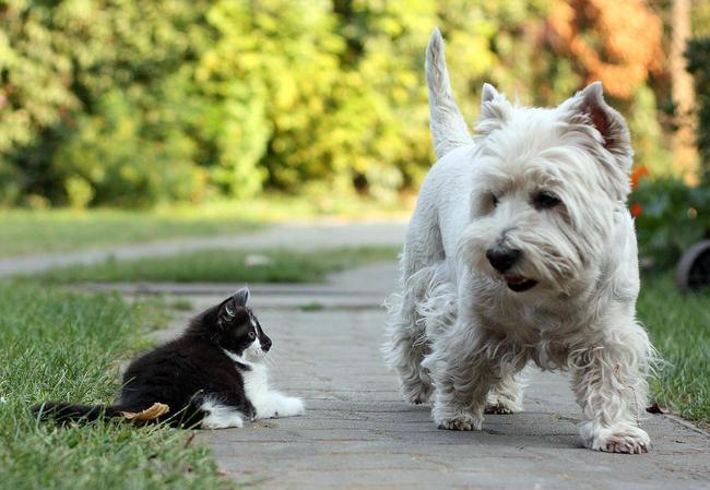 Biały pies Westi i młody kotek