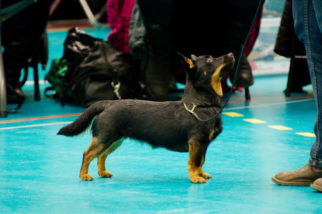 Lancashire heeler na wystawie psów rasowych