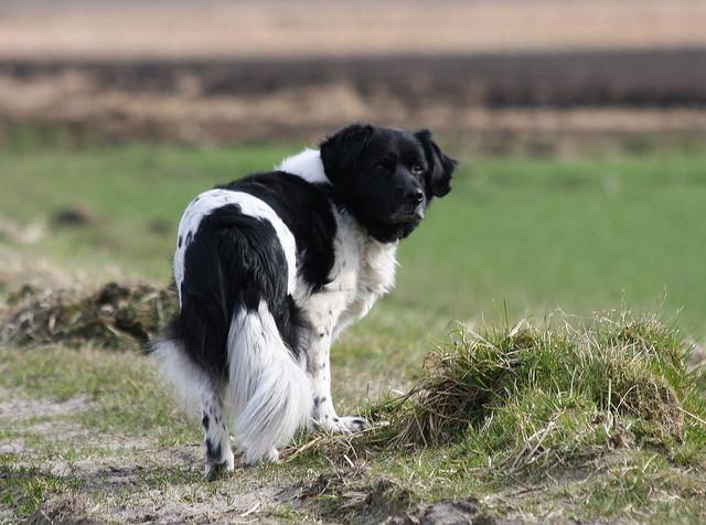 Długowłosy pies myśliwski Wyżeł fryzyjski